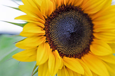 beautiful yellow blooming sunflower with blurry background on the left Stockfoto