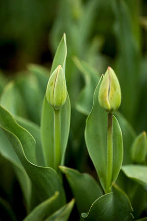 all green, tulips before bloom, background out of focus, nicely blurred Stockfoto