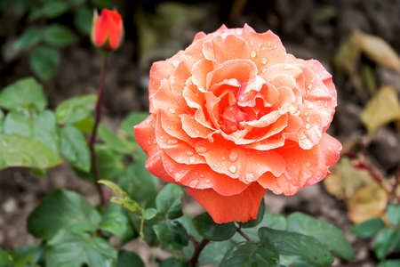 salmon colored rose blossom wet raindrops, in the back a rosebud