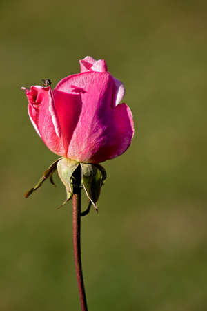 isolated rose in front of a blurry green background, little fly perching on a petal with silhouette