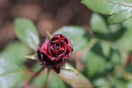 view from above of a still closed dark red rose flower with dew drop in the middle
