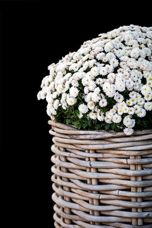 pretty autumn decoration, wicker basket planted with white mini asters