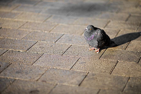 pigeon with black feathers and a few purple iridescent, percing on the the sidewalk in the city
