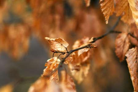 bud on a beech tree in autumn