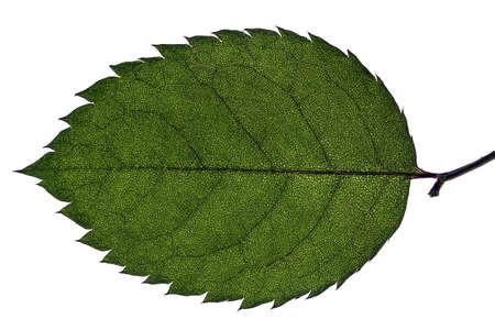 birch or beech leaf isolated on white background