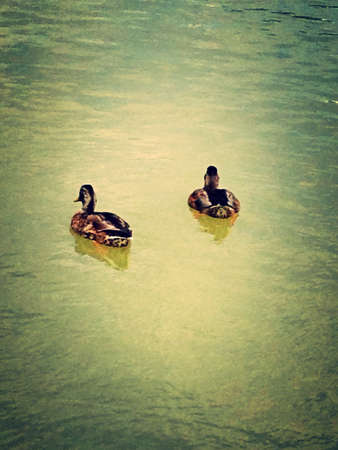 otganimalpets01: Two ducks swimming Stock Photo
