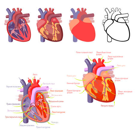 The structure of the heart, a schematic representation of the work of the heart.