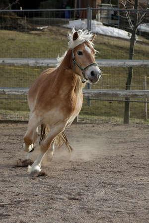 racehorses: Palomino Horse
