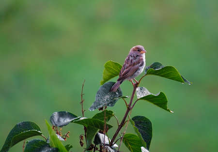 female house sparrow perched on a branch Stockfoto