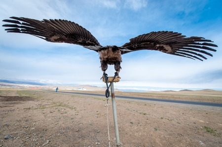 nomadism: MONGOLIA - May 17, 2015: Specially trained eagle for hunting in mongolian desert near Ulan-Bator. Stock Photo