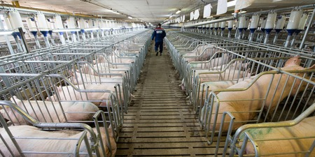 Pigs at a factory in russia. Meat production