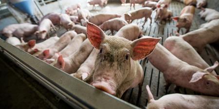 arganic の農場で豚の sty をブタします。 写真素材