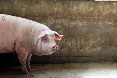 swine flu vaccine: pig in pig sty on arganic farm
