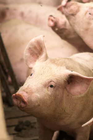 porker: Pigs at a factory. Farming in Russia