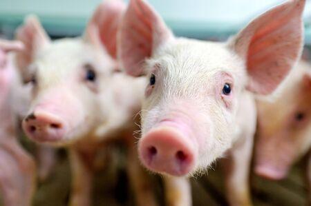 industria de la granja de cerdos agricultura cerdo granero cerdo