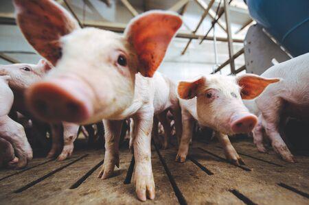 schweinefarm industrie landwirtschaft schweinestall schweinefleisch