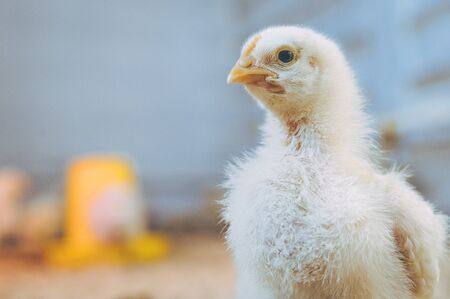 little small broiler poultry white chick bird tiny agriculture Stockfoto