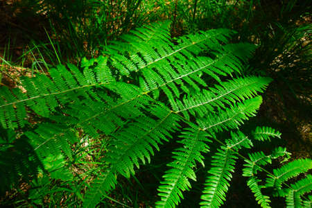 Green fern in the morning in the forest, close-up view