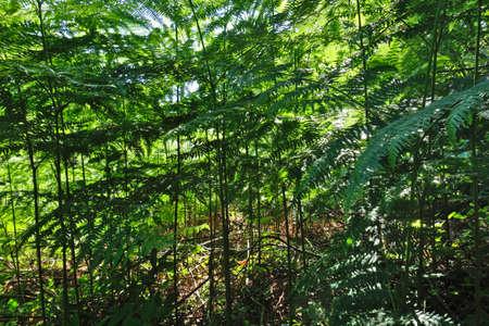 Ferns forest in spring