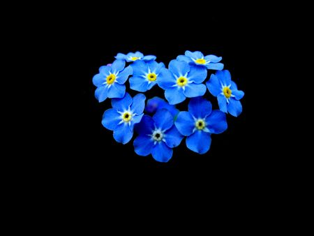faithfulness: Forget-me-nots beautiful arrangement on contrasting black background. Forget-me-nots are symbolical of remembrance, love, faithfulness, friendship, care and longing; they are also state & country flower & ecological symbol (Poland). Useful greeting card. Stock Photo