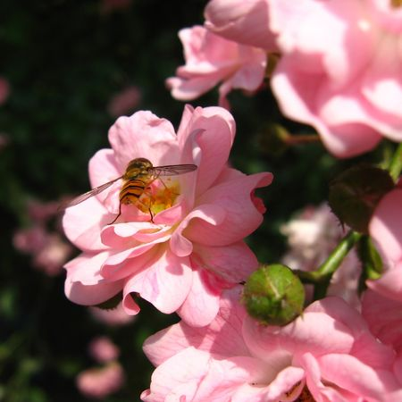 Early summer. A rosebush with focus on a bee gathering pollen. photo