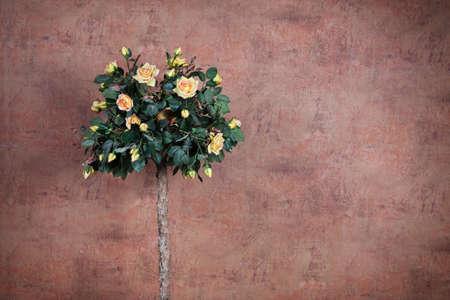 rosas amarillas: arbusto de rosas amarillas sobre un fondo de pared de la vendimia
