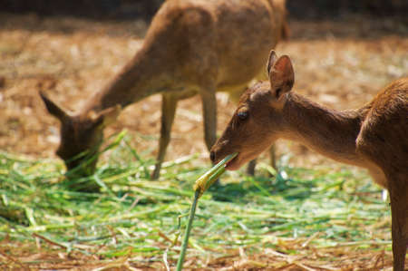 two asian baby deer is eating in the field