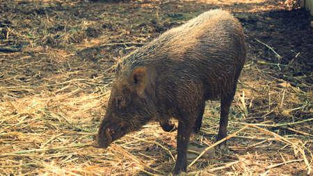 wild boar sightings in the wild