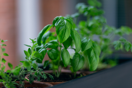Basil leafs in herb garden Zdjęcie Seryjne