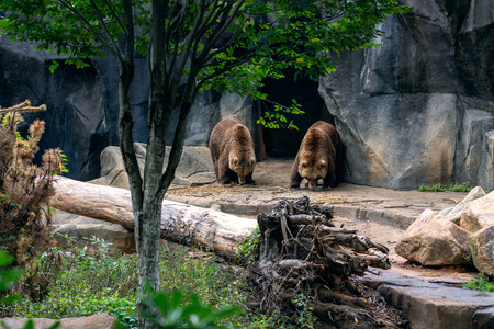 Grizzly bears walking out of a cave
