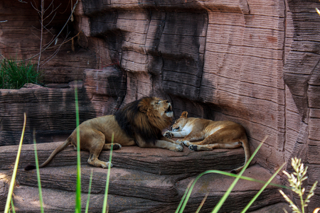 lions laying on rock roaring before taking a nap