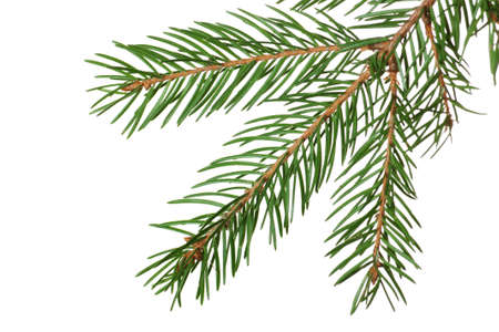 Fir branch isolated over the white background Stock Photo