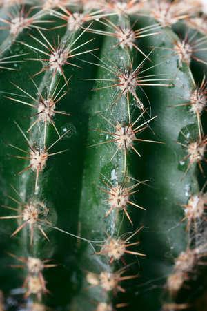 Closeup view of juicy succulent green cactus Stock Photo - 12106321