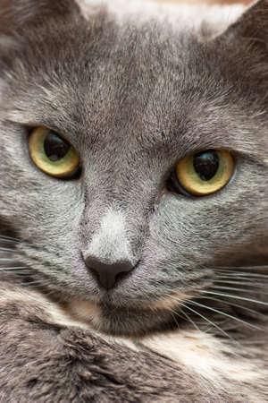 mewing: Closeup view of calm cat face