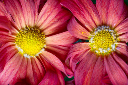 Macro view of a pair of daisies photo