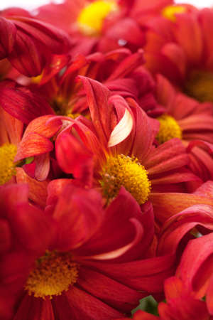 Close up view of a heap of red flowers Stock Photo - 12837313