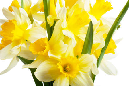 floridity: A bouquet of narcissi isolated over white