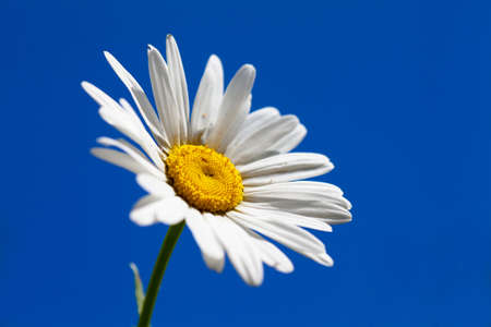 Macro view of single camomile over sky background photo