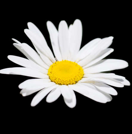 daisy stem: Macro view of single camomile over black background