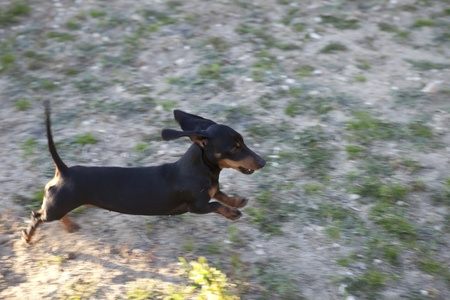 Black, short-hair Dachshund (pure breed), Tekel Stock Photo - 12157579