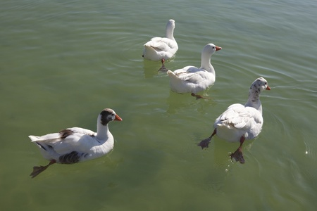 Swans on a lake  photo