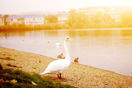 White Goose at sunset near the lake