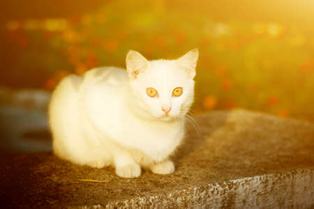 White cat with yellow eyes sitting on the grass in the sunset colors in the sunlight. Banque d'images