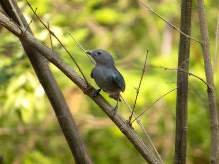 Sayaca Tanager (Tangara sayaca) isolated on tree branch in extension of Brazil's Atlantic Forest. Brazilian fauna bird. Front view