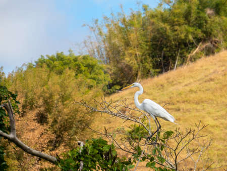 The Great Egret (Ardea alba) is a common bird by the lakes, rivers and wetlands. Measures between 65 and 104 centimeters in length and weighs between 700 and 1700g. Brazilian fauna