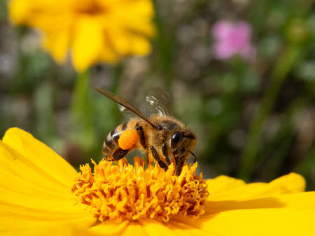 closeup worker bee pollinating yellow flower in beautiful garden. wild honey production