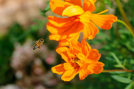 closeup worker bee flying over yellow flower in beautiful garden for pollination. production of wild honey.