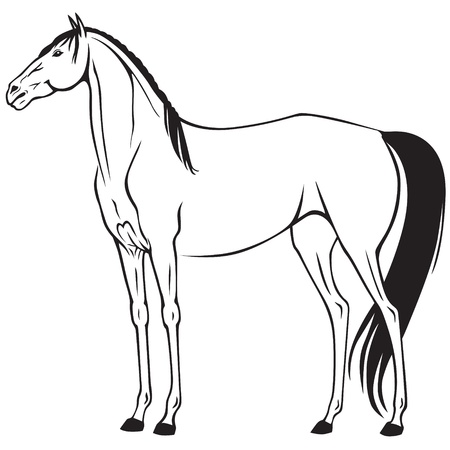 thoroughbred: Contour image of a beautiful thoroughbred horse