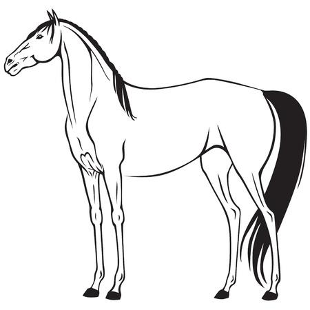 thoroughbred horse: Imagen de contorno de un hermoso caballo de pura raza