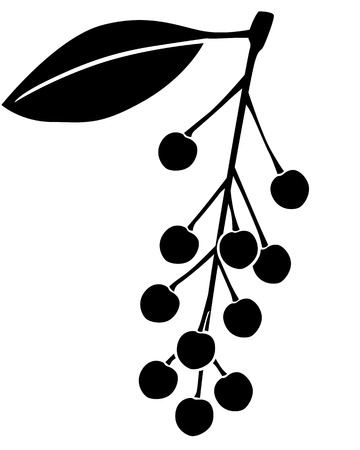 drupe: Silhouette black and white image of bird-cherry berries